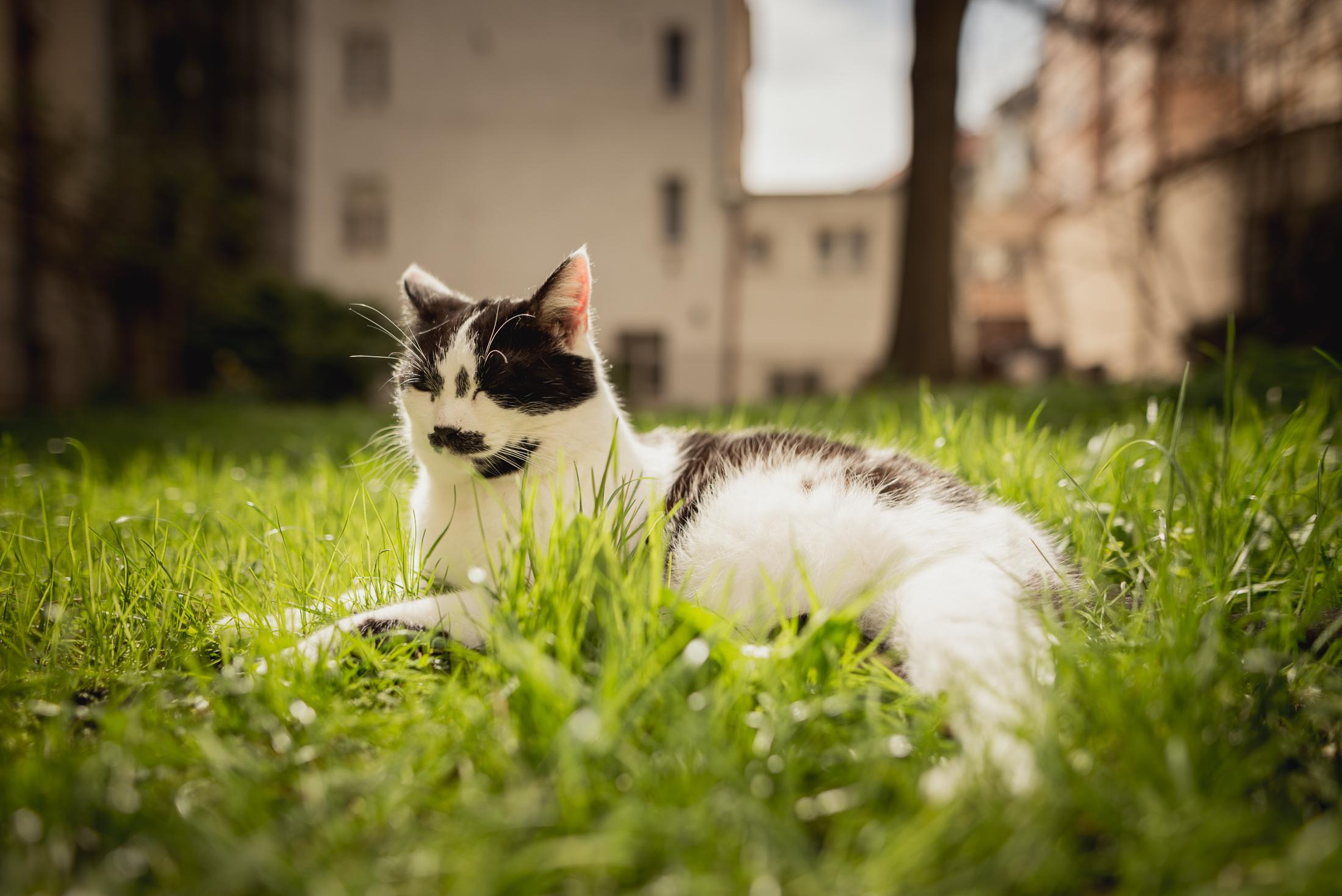 Dospívající bush kočička